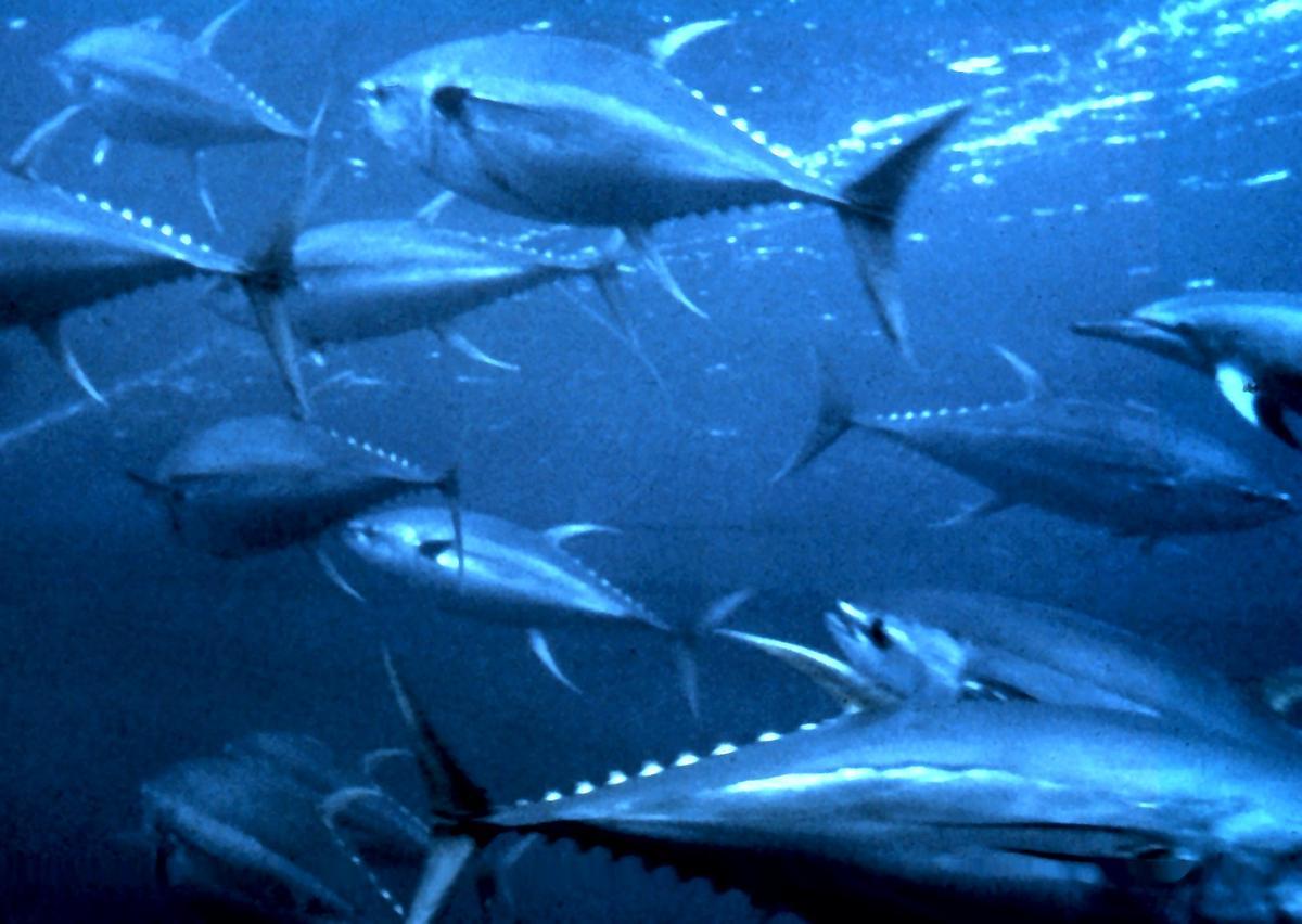EU to ensure sustainable Atlantic tuna stocks